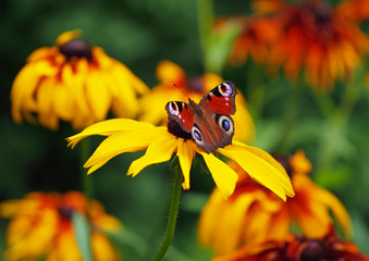 European Peacock butterfly on brightly yellow flowers