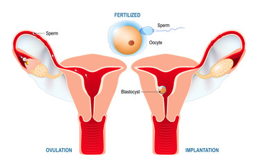Ovulation, fertilization, implantation of blastocyst in the uterine wall