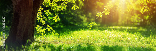 Wall mural old oak tree foliage in morning light with sunlight