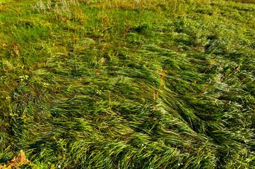 Green grass, top view.