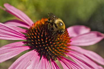 Bee on Echinacea flower high angle close cup