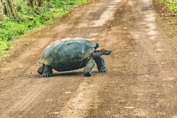 Galapagos Giant Turtle, Ecuador