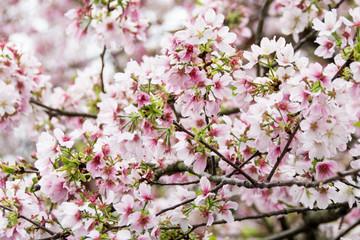Many cherry blossom
