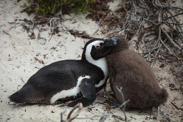 Penguin Mom and Chick 2