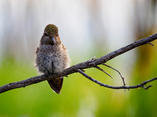 A Cute Hummingbird