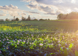 Plantation of the flowering potatoes at sunset