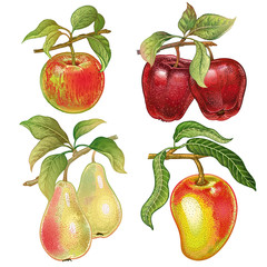 Realistic drawing of pears, apples, mango.