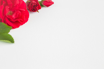 Red roses on the white background. Greeting card. Empty place for a text.