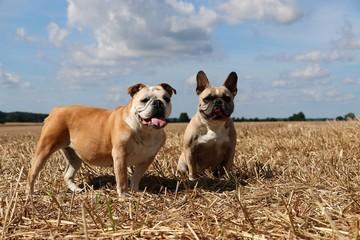 zwei bulldoggen auf einem stoppelfeld