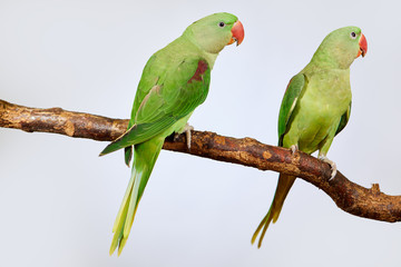 Couple of Alexandrine Parakeet, green parrot bird isolated on white backgroud Fotomurales