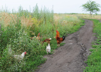 The rooster and chickens go on a country road in the field