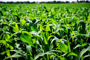 Green cornfield closeup