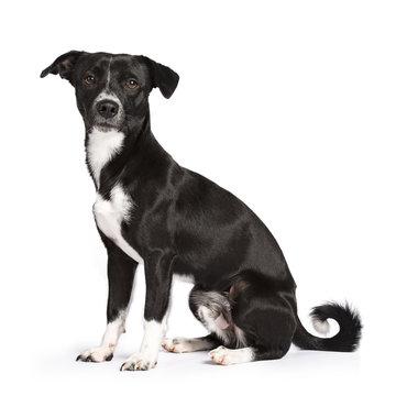 Black and white stray dog sitting side ways isolated on white background