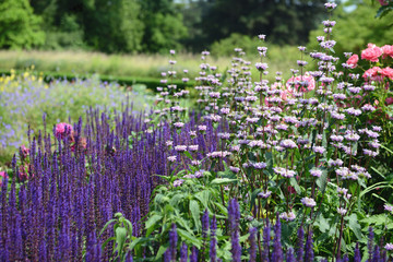 Pink rose in flowerbed with purple blue sage and white Lampwick Plant also known as Jerusalem Sage