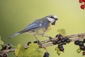 blue tit on a branch with black currant