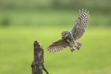 Little owl, Athene noctua, hunting in flight spread wings