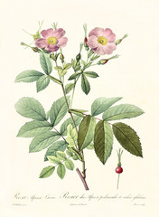 Old illustration of Rosa alpina loevis. Created by P. R. Redoute, published on Les Roses, Imp. Firmin Didot, Paris, 1817-24