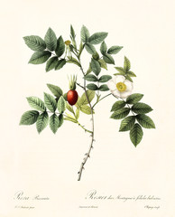 Old illustration of Rosa biserrata. Created by P. R. Redoute, published on Les Roses, Imp. Firmin Didot, Paris, 1817-24