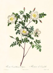 Old illustration of Rosa candolleana elegans. Created by P. R. Redoute, published on Les Roses, Imp. Firmin Didot, Paris, 1817-24