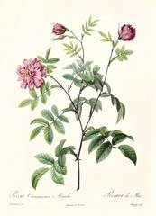 Old illustration of Rosa cimmamomea majalis. Created by P. R. Redoute, published on Les Roses, Imp. Firmin Didot, Paris, 1817-24