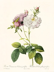 Old illustration of Rosa damascena celsiana prolifera. Created by P. R. Redoute, published on Les Roses, Imp. Firmin Didot, Paris, 1817-24