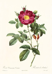 Old illustration of Rosa damascena coccinea. Created by P. R. Redoute, published on Les Roses, Imp. Firmin Didot, Paris, 1817-24