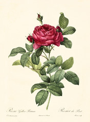 Old illustration of Rosa gallica pontiana. Created by P. R. Redoute, published on Les Roses, Imp. Firmin Didot, Paris, 1817-24