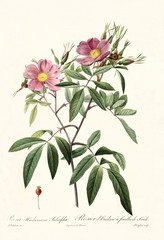 Old illustration of Rosa hudsoniana salicifolia. Created by P. R. Redoute, published on Les Roses, Imp. Firmin Didot, Paris, 1817-24