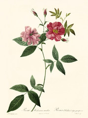 Old illustration of Rosa hudsoniana scadens. Created by P. R. Redoute, published on Les Roses, Imp. Firmin Didot, Paris, 1817-24