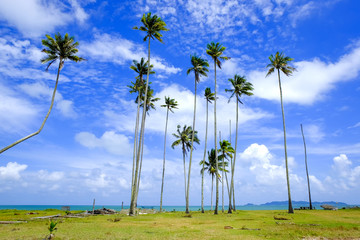 Coconut tree and beautiful nature at sunny day with cloudy blue sky background near the beach