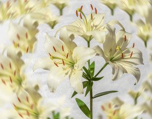 White lilies, photo, applique, background