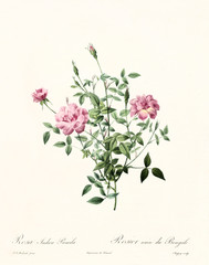Old illustration of Rosa indica pumila. Created by P. R. Redoute, published on Les Roses, Imp. Firmin Didot, Paris, 1817-24