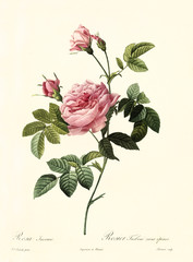 Old illustration of Rosa inermis. Created by P. R. Redoute, published on Les Roses, Imp. Firmin Didot, Paris, 1817-24