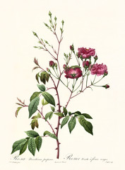 Old illustration of Rosa noisettiana purpurea. Created by P. R. Redoute, published on Les Roses, Imp. Firmin Didot, Paris, 1817-24