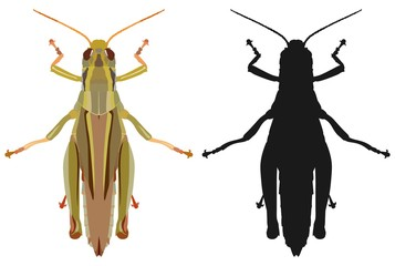 Color image of grasshopper and its black silhouette. Vector illustration.