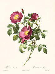 Old illustration of Rosa pumila. Created by P. R. Redoute, published on Les Roses, Imp. Firmin Didot, Paris, 1817-24