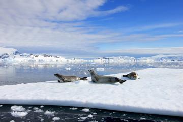 Fototapeta premium Crabeater seals on ice floe, Antarctic Peninsula, Antarctica