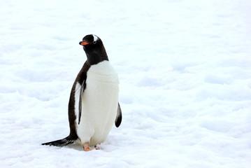 Gentoo penguin walking on snow in Antarctic Peninsula, Antarctica
