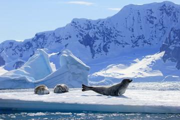 Fototapeta premium Foki Crabeater na krze lodowej, Półwysep Antarktyczny, Antarktyda