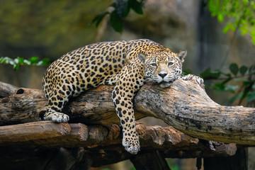Jaguar lying on a branch.