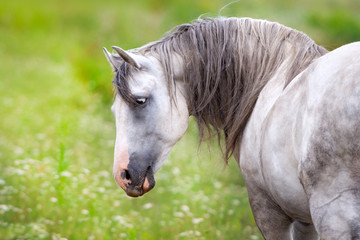 White andalusian horse portrait on spring meadow