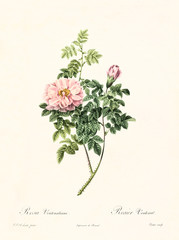Old illustration of Rosa ventenatiana. Created by P. R. Redoute, published on Les Roses, Imp. Firmin Didot, Paris, 1817-24