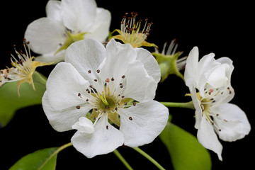 Pear blossom flower on black