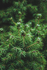 Frosty tips of a bright green pine tree.