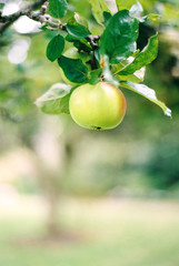 Apple hanging from a tree