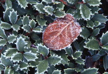 closeup macro of frost rimming small succulent holly leaves in early winter in northern california