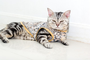 Cute American shorthair cat wearing tiger shirt and sitting on the floor with copyspace