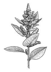 Amaranth illustration, drawing, engraving, ink, line art, vector