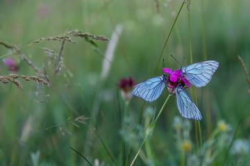 Butterflies blue on purple carnation macro