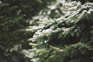 Fir covered in snow